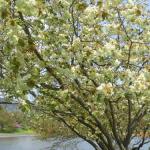愛知県の桜の名所!ライトアップ・屋台もある名所紹介。