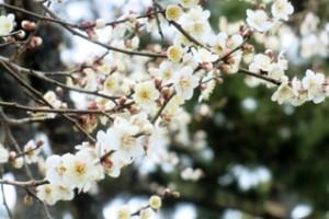 梅の花 (1)