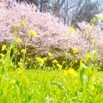 桜と菜の花200