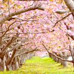桜のトンネル200