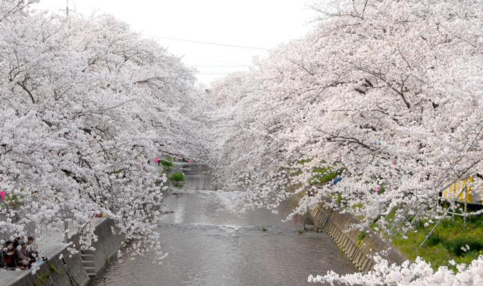 五条川桜2