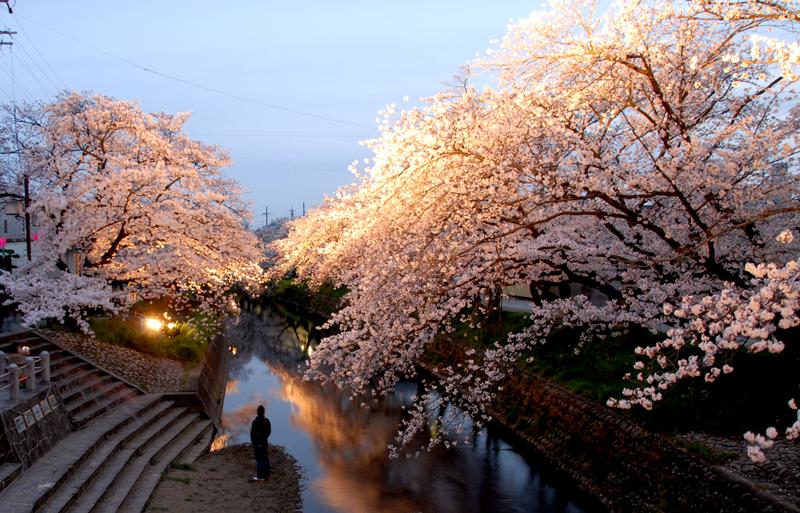 岩倉夜桜2