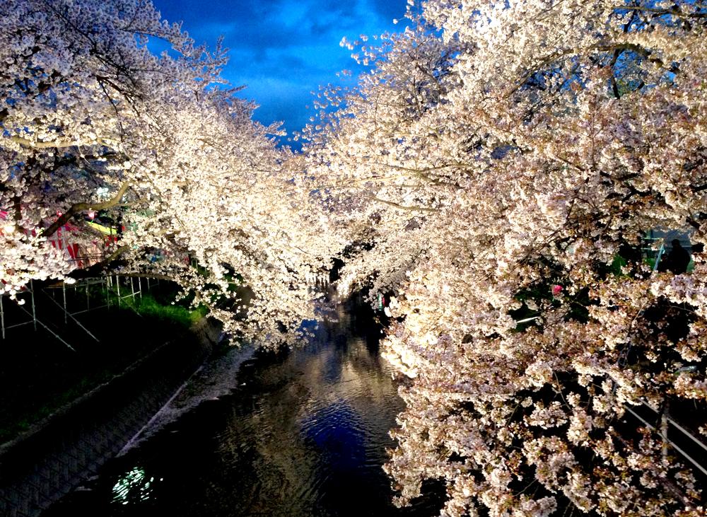 岩倉桜まつり(夜桜1)