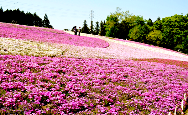 羊山公園 芝桜1