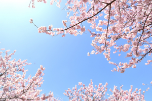 桜開花宣言2