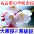 名古屋の早咲き桜の大寒桜と寒緋桜を紹介するイメージ画像