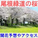 【尾根緑道】2017年 桜の開花予想とアクセス方法