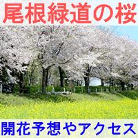 尾根緑道の桜の開花予想とアクセス方法を紹介するイメージ画像