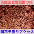 浜離宮恩賜庭園の桜の開花予想とアクセス方法を紹介するイメージ画像