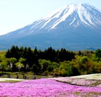 富士芝桜200