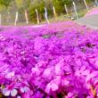 芝桜公園200