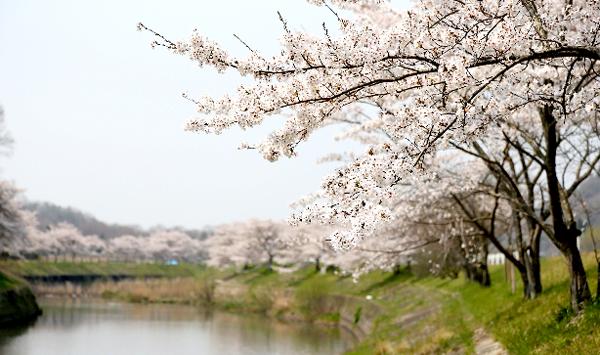 白石川千本桜
