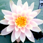 【4月8日花祭り】お釈迦様のお誕生日。甘茶をかけて祝いましょう