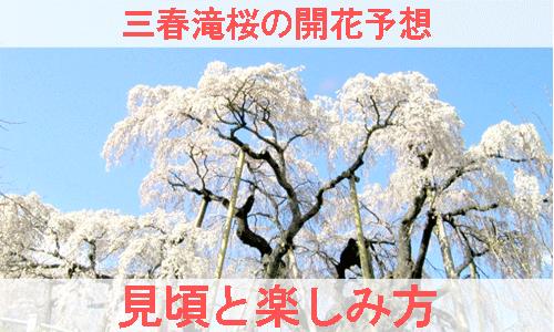 三春滝桜の開花予想と見ごろと楽しみ方を紹介する画像