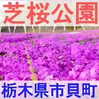 栃木県市貝町の芝桜公園を紹介するイメージ画像