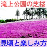 滝上公園の芝桜の見頃と楽しみ方を紹介する画像