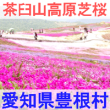 愛知県豊根村の茶臼山高原芝桜を紹介するイメージ画像