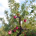 りんご(たて)200