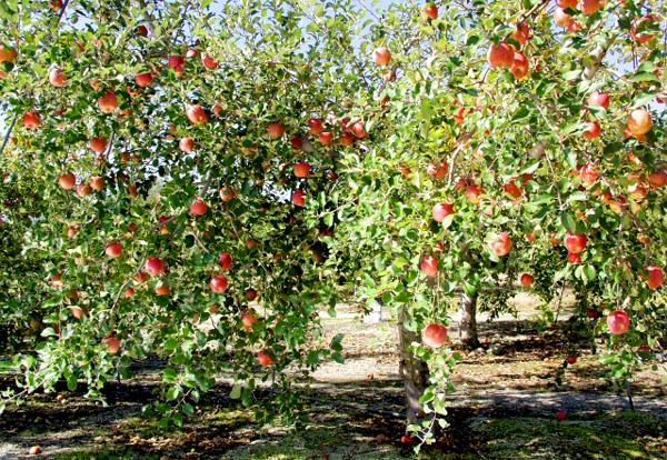 りんご狩り600