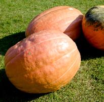 おばけかぼちゃ200