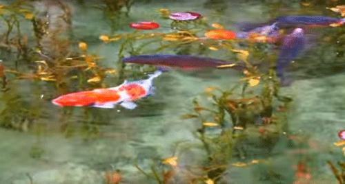 モネの池の鯉の画像