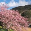 河津桜の画像