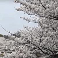 国営昭和記念公園の桜01