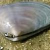 ナミノコ貝の写真
