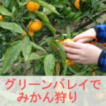 愛知県知多半島のみかん狩りは【南知多グリーンバレイ】がおすすめ